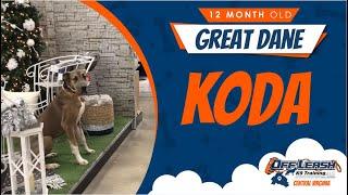1yo Great Dane (Koda) Best Dog Trainers in VA