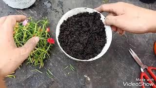 Cách trồng hoa mười giờ vào chậu ( How to Grow Portulaca Cuttings)