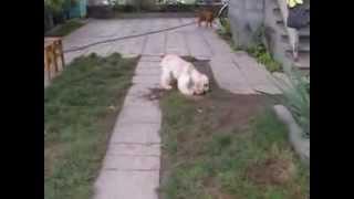 Подрощенный мальчик кокер спаниеля, видео 2(, 2014-08-17T12:54:46.000Z)