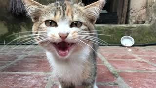 Chú mèo mướp đáng yêu nhất vịnh bắc bộ