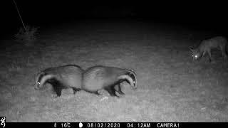 Badger cubs in a playful game of chase with a fox cub