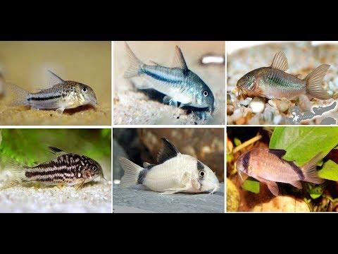 Awesome Cory Catfish For Aquarium