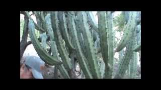 Gambar cover Mesquites Y Garambullos en La Pitaya, Jalpa, Zacatecas