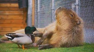 コールダックがカピバラをツンツン(反応強め) (Call duck peck capybara and... Part.2)