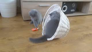 British Shorthair. Jenelle knows these things are for her.  Last day together *cattery Calmcat Briti