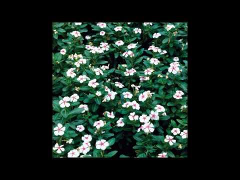 Цветок барвинок – посадка и уход, фото барвинка