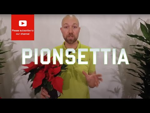 All you need to know about Poinsettia a Popular Christmas flower