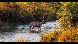 Hog Deer crossing river in Jim Corbett India   Risky River Crossing Animals