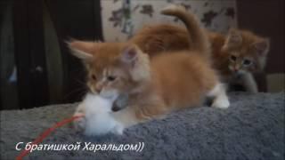 котята  Мейн кун (Астрид и Харальд) в 2,5 месяца