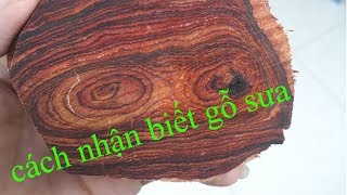 Gambar cover Hướng dẫn cách nhận biết gỗ sưa chi tiết | thu mua cây sưa gỗ sưa