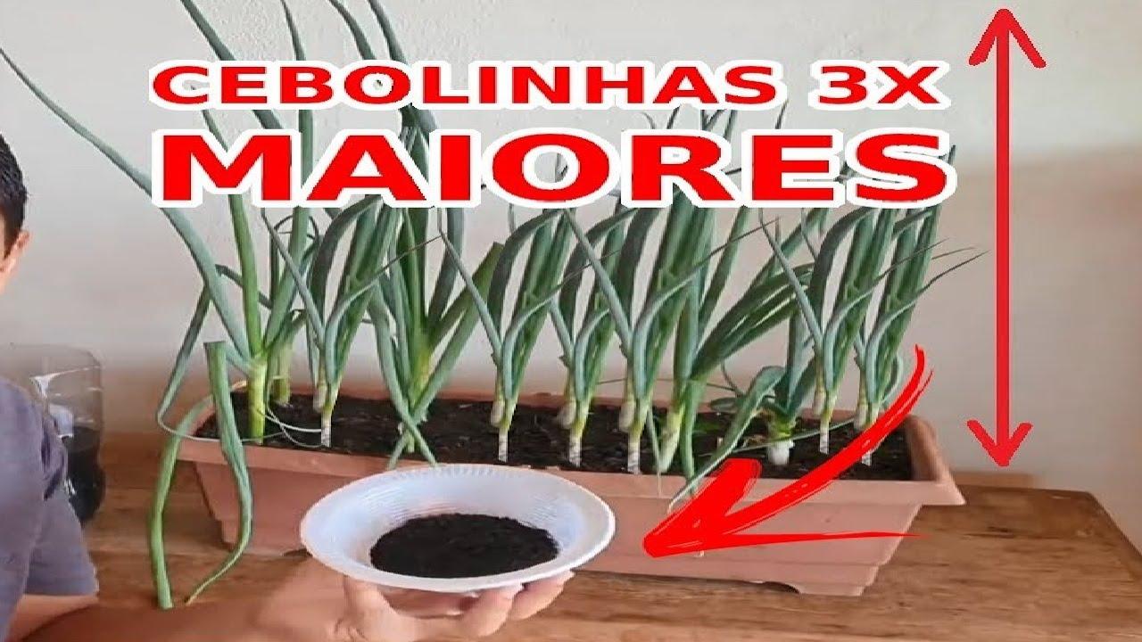 Adubo Natural deixa Cebolinhas 3X MAORES!