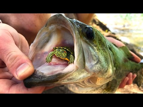 Do Bass Actually Eat TURTLES??  GoPro Turtle Underwater Footage