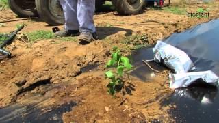 Плантажи со гоџи во Македонија(БИОПЛАНТ Ви прикажува дел од плантажите со гоџи во Македонија. Во ова прво видео можете да видите како се..., 2014-08-27T15:27:29.000Z)