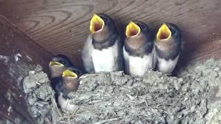 門の上にツバメの巣があります。お父さん、お母さんが餌を運んでくるの...