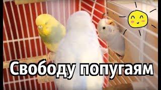 Птенцы выходят из гнезда. Волнистые попугайчики