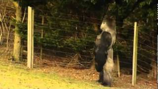 Gorilla learns to walk like a man