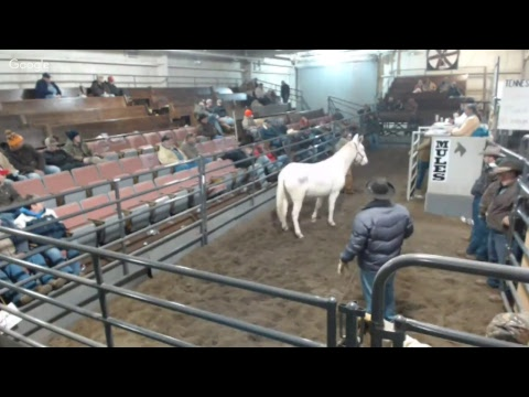 Jan 2018 Annual Reese Mules Colt Sale