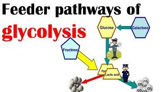 Feeder pathways of glycolysis