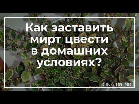 Как заставить мирт цвести в домашних условиях? | toNature.Info