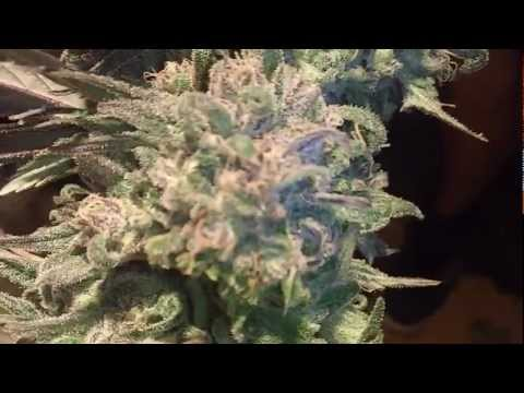 Grape Kush Harvest Part 2