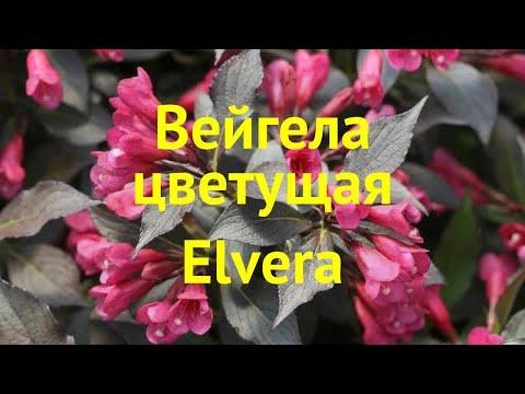 Вейгела цветущая Элвера. Краткий обзор, описание характеристик Weigela Florida Elvera Elvera