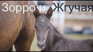 Новый конь Зорро и лошадь Жгучая Красотка.Жеребята 2020