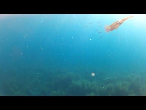 (水中映像)アオリイカをエギングで狙っていたら・・・