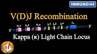 VDJ Recombination (PART 1) - Ig Light chain locus (FL-Immuno/44)
