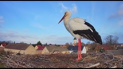 🔴 Livestream - Storchennest Fohrde - Nest 1 (White Stork, Bocian, лелека, čáp, roda, gólya)