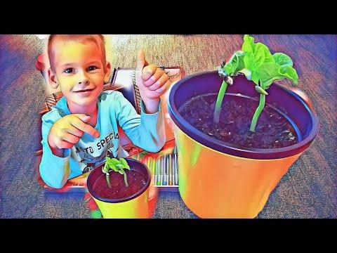Как посадить фасоль в домашних условиях