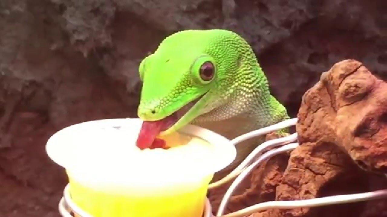 Gecko lizard マダガスカルヒル...