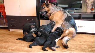 Большая семейка. Щенки Немецкой овчарки и их мама. Puppies of the German Shepherd are for sale.