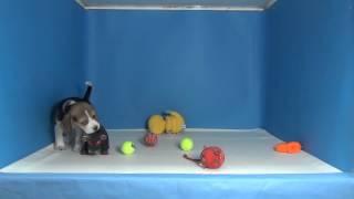 Beagle Hembra RF: 337 A25 Venta de perros. Comprar cachorros de perro Beagle