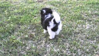 Gorgeous-long-thick-haired-shih-tzu-pom-shirainian-pups-8-weeks-old