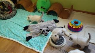 "Ragdoll kittens 6 weeks old...""My Superheroes"" Litter..."