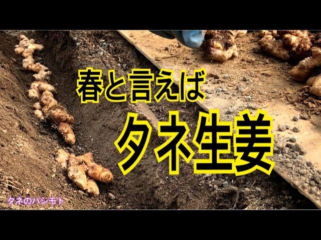 生姜 の 植え付け 時期