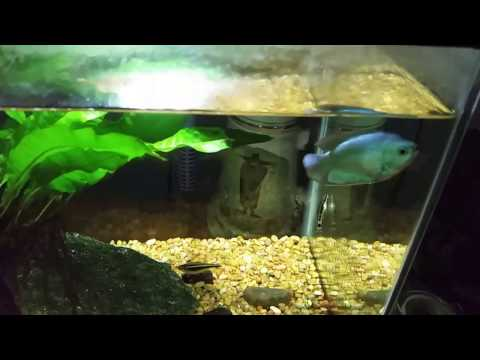 Dwarf Gouramis: A Few Thoughts On My Experience With Them