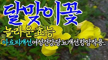 ☞달맞이꽃(종자유)의 놀라운 효능【체지방억제,전립선암예방,혈관건강에도 좋은 달맞이꽃~!】