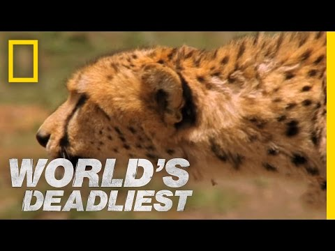 Cheetah Hunts Gazelle | World's Deadliest
