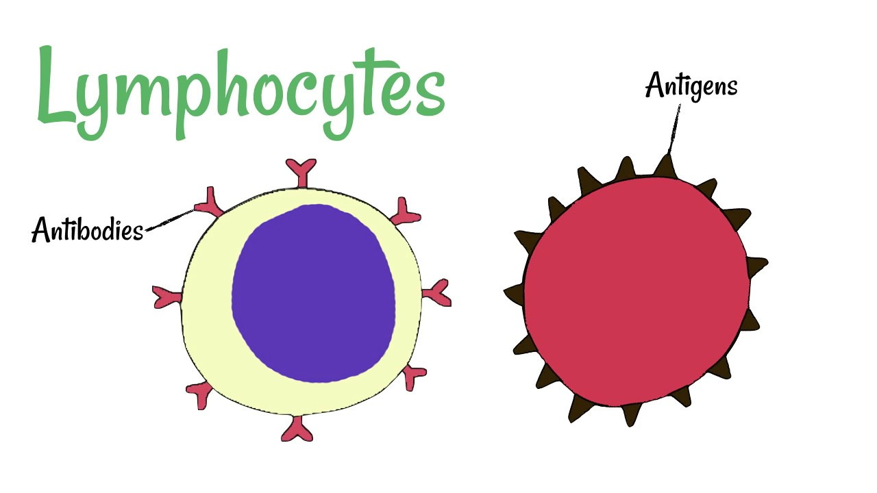 hight resolution of cell defence lymphocytes and phagocytes