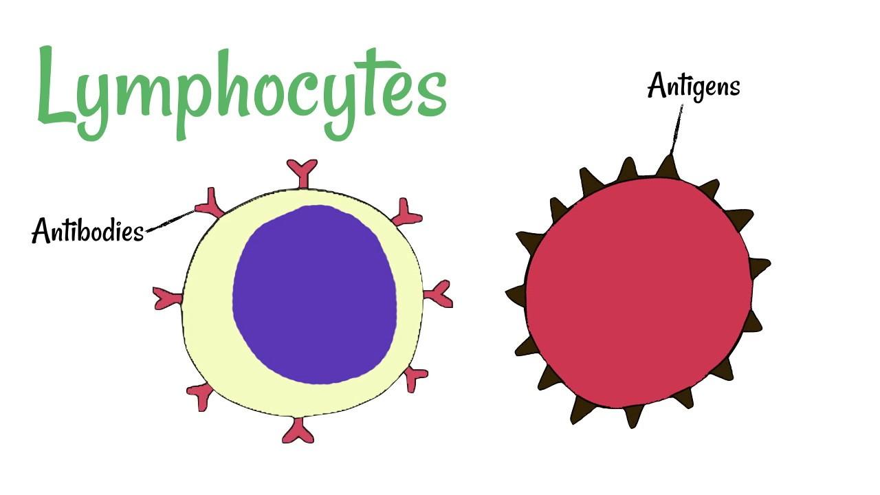 cell defence lymphocytes and phagocytes [ 1280 x 720 Pixel ]