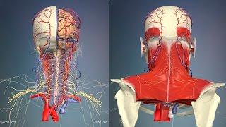 3D Анатомия человека - голова и шея, вид сзади.