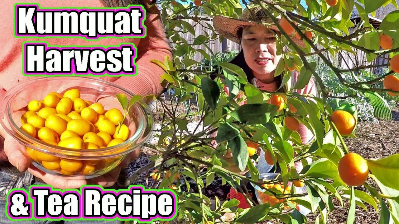 Harvesting Cold Hardy Kumquat Citrus And Making Kumquat Tea
