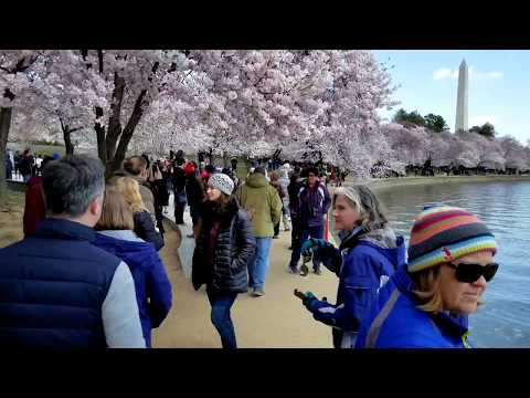 2018 Washington, DC Cherry Blossom Peak - Best Viewing