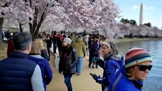 2018 Washington, DC Cherry Blossom Peak - Best Viewing