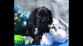 Cocker Spaniel Puppies For Sale **www.maryscockerhaven.com** 719-306-8118