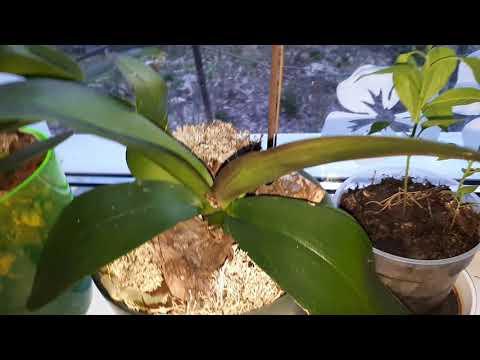 Избавления от трипса на орхидеях, результаты после двух обработок