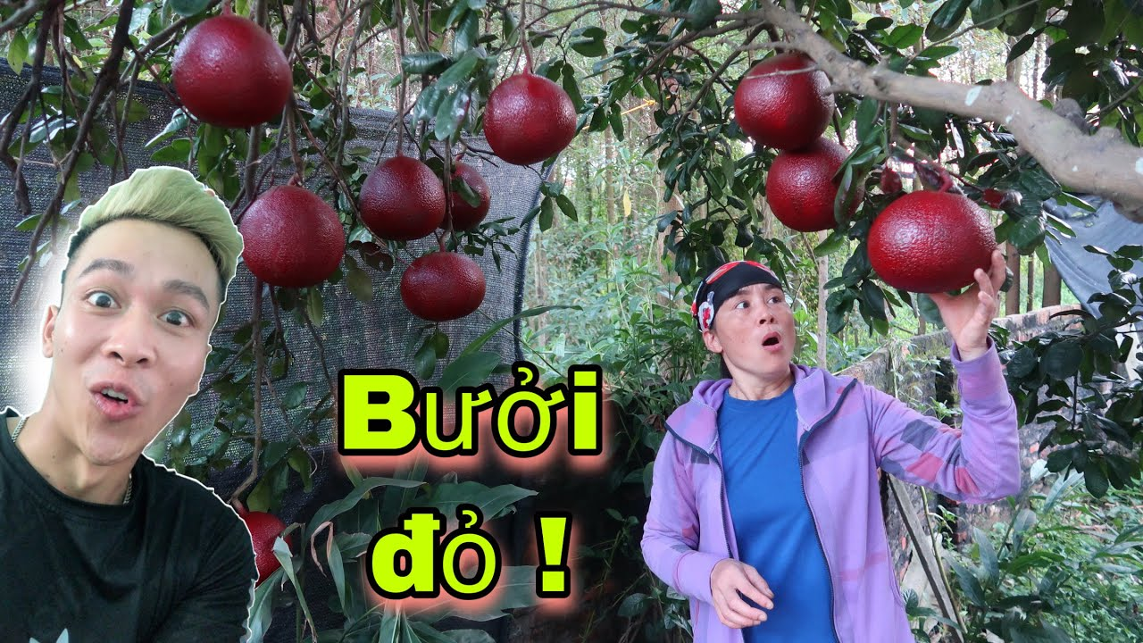 Hùng Vlog _ Trêu Mẹ // Sơn Đỏ Hết Trái Bưởi Trên Cây // Team Hưng Vlog