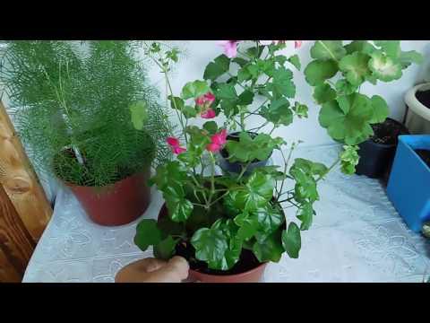 🌹🌹🌹ГЕРАНЬ ( ПЕЛАРГОНИЯ ) ПЛЮЩЕЛИСТНАЯ ! Выращивание от семян до цветов, полный цикл