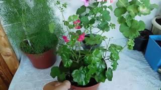 ГЕРАНЬ ( ПЕЛАРГОНИЯ ) ПЛЮЩЕЛИСТНАЯ ! Выращивание от семян до цветов, полный цикл